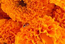 Marigolds for weddings!