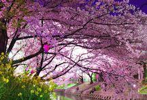 Kirsebærtræer foto