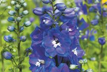 Delphiniums - Summer to Autumn Flowers / Delphiniums are real floral charmers. Fertilise them well and you will soon be inundated with flowers. Delphiniums have a special cottage charm that is hard to say no to.  For more on Delphiniums visit www.tesselaar.net.au/delphiniums