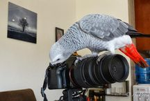 "African grey parrot ""Boubou"""