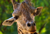 állat zsiráf