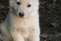Witte Zwitserse herder/white Shepherd dog/Berger blanc Suisse