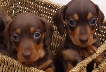 Dachshunds of cute! / Cute sausage dogs