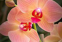 Kytky- Orchidei