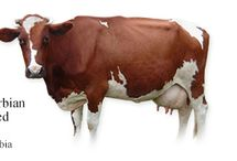 Serbia Cattle Breeds #1*** /  1-The Serbian Pied (aka Domaće šareno goveče in Serbian) originated from local Serbian cattle being crossed with the Simmental. And now the name 'Simmental' is replacing the name 'Serbian Pied'. Domaće šareno goveče = homemade colorful beef (literally, according to Google translate) Other breed local names in use: (English) Domestic Spotted Cattle (Serbian) Simentalska rasa goveda (Serbian) Simentalac