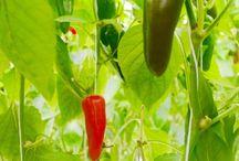 Greenhouse Veggies