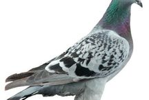 pigeon duivenhobby.
