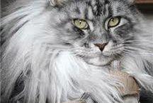 Sua  Altezza Reale ,Il Gatto...