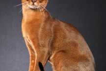 ABYSSINIAN / by Cat Fanciers Association