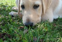 Pet love /  #lab #love #pet #petlove #scout