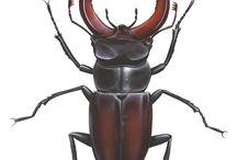 Maggiolini insetti