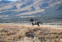 Wild Horses / Pictures of a piece of our American Heritage, the wild Mustang. Please get involved in saving these wonderful creatures from the Government and BLM and STOP Wild Mustang and Burro Roundups!