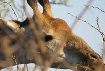 Kruger Nasional Park