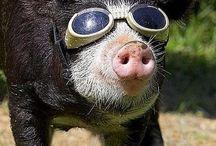 Pig Goggles / Pig Goggles