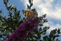 Πεταλούδες / Πεταλουδες