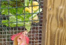 Environment! / Vege gardens and chickens