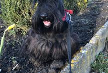 Scottish Terrier favourites