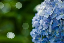Hydrangea ♥ / I remember hydrangeas from my childhood, and I've fallen in love with them as an adult.