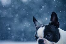 Boston Terriers / by Dublin Dog Co.