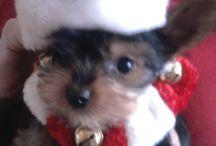 Misu the village Yorkie / My puppy :)
