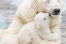 Białe niedźwiedzie.