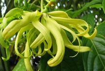 Ylang-Ylang / Toute la fraîcheur de l'ylang-ylang déclinée à travers des notes vanillées, musquées et pétillantes.
