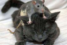 ratooon que te pilla el gato