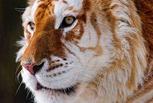 虎 & ライオン