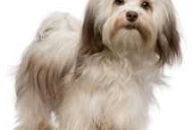 Dogdom: Havanese / Soulful eyes, with a twinkle of mischief. / by Edna Lötter Botha