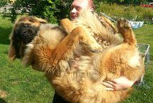 Leonberger / Hunde