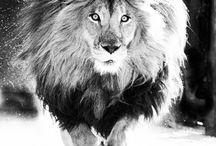 Lions ❤❤