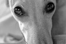 Agár / Greyhound, Galgo, Whippet, Borzoi, Saluki, Azawakh