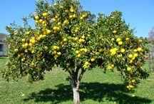 формировка яблони