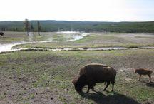 Les merveilles de Yellowstone / Bisons, geyser et sources chaudes. Paysages venus d'une autre planète !