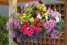 Perfect Hanging Basket Plants / A range of easy to grow seeds to create the best hanging basket display from Suttons Seeds