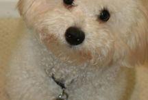 Bolongnese kutyók