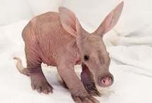 "Aardvarks ""Earth Pig"" / Live in Africa;