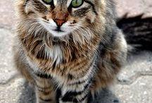 gato b