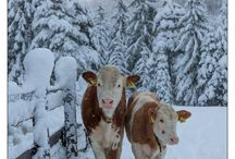 i love (latte) mucche
