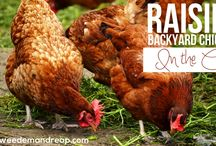 Raising Animals: Meat, Milk & Eggs / information and tips on raising animals for meat, milk & eggs