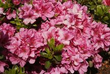 evergreen azaleas, české azalky, rhododendron obtusum / japanese azaleas/evergreen azaleas japonské azalky rhododendron obtusum