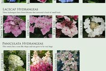 flowers: hydrangeas / by Rose of Sharon Floral Designs