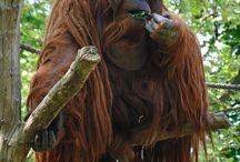 Orangutan / Save the adorable orangutans