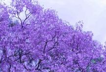 Lilac, Lavender, Purple, Love it! / Lilacs, Lavender, Purple of flowers, or colors to enjoy and fill the home with.