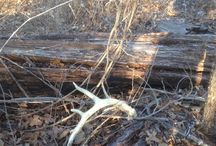 Shed Hunting at Oak Creek Whitetail Ranch / Photos of some of the great sheds we found in 2014