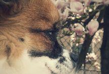 Chihuahua / Eddie