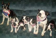 Patriotic Boston Terriers / Boston Terriers showing off their American pride!