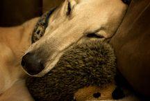 Greyhound goodness