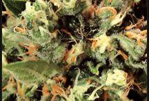 ★#Growing #Marijuana ★ / Tips & Tricks on How to Grow Marijuana, Top Marijuana Strains & Seeds, and some information about growing marijuana