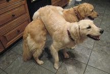 Golden retrivers / Dogs